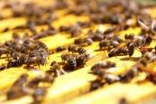 Bienen 5