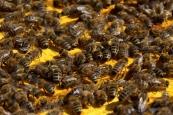 Bienen 4